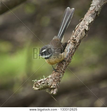 Small fantail bird endemic to New Zealand