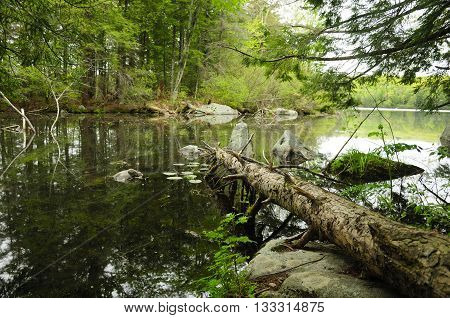 A fallen hemlock tree onto the waters of Burr Pond in the springtime located in Torrington connecticut.