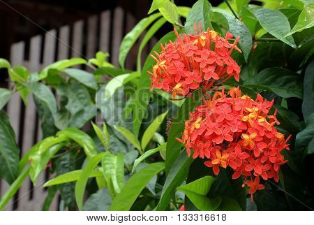 tropical flower ixora. red spike flower is a sacred flower and used in ritual