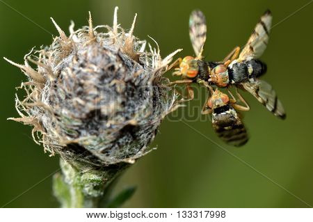 Urophora jaceana galls flies mating on host plant. Flies in the family Tephritidae on black knapweed (Centaurea nigra) in which larva develop in chambers within galls on the flowerhead