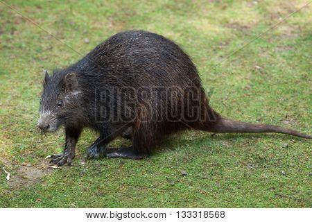 Desmarest's hutia (Capromys pilorides), also known as the Cuban hutia. Wildlife animal.