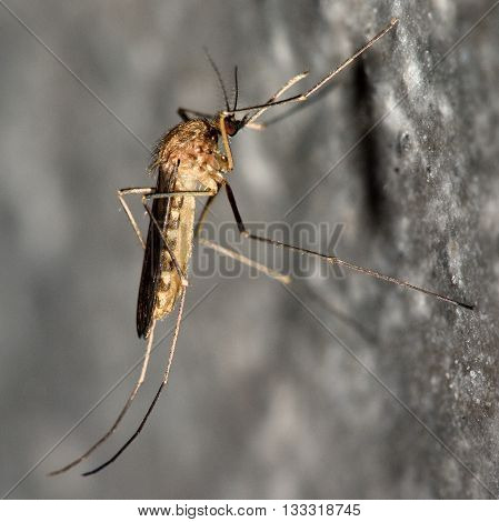 Common house mosquito (Culex pipiens) in profile. Familiar blood-feeding insect in the family Culicidae