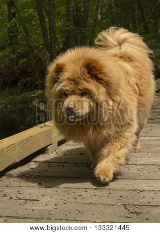 Blue-tongued, female chow chow crossing a bridge while hiking.