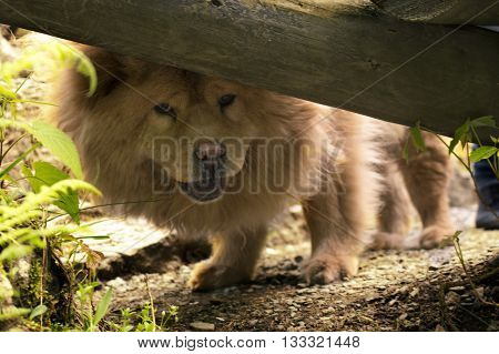 Female blue-tongued chow chow peeking under a log.