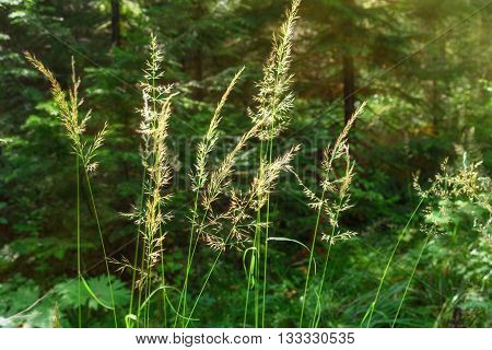 Inflorescence Of Meadow Grass On Sun