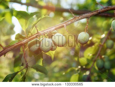 Small yellow plums in gaeden in sunlight. Unripe