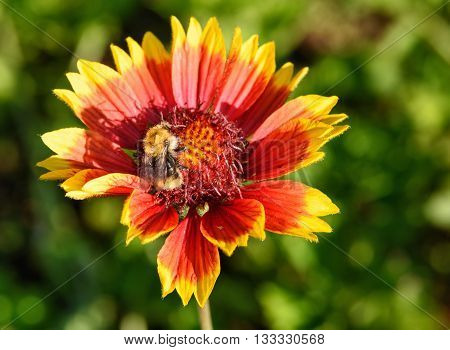 Gaillardia flower with bumble bee in the garden on green background. Close-up