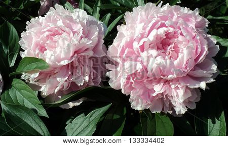 Two blooming pink peony flowers blooming in the summer time, close up peonies nature photo.
