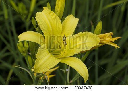 Lemon Yellow Day Lily Hemerocallis Bloom Perennial Bulbs