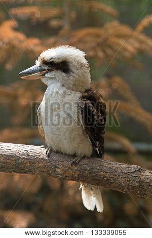 Laughing kookaburra (Dacelo novaeguineae), sitting on a tree, close up