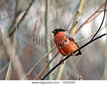 Wet Tailless The Bullfinch.