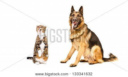 German Shepherd and funny cat Scottish Fold, isolated on white background