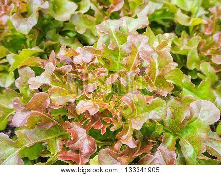 Hydroponic red oak leaf lettuce vegetables plantation