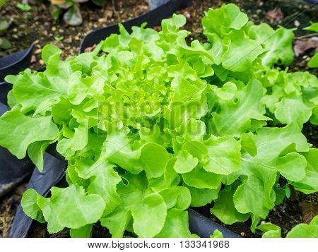 Hydroponic green oak leaf lettuce vegetables plantation