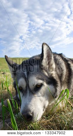 the dog breed a malamute, lies on a mowed grass, yellow color, the summer period, a green grass a background, solar evening, the nature, natural, a portrait, clouds, the sky,