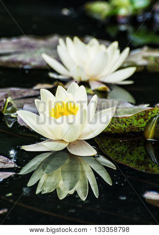 Beautiful yellow water lily - Nymphaeaceae - in the garden pond. Aquatic herb. Seasonal natural background. Beauty in nature. Water lilies.