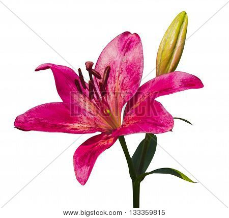 lily flowers isolated. lily flowers. lily flowers isolated on white background.lily.