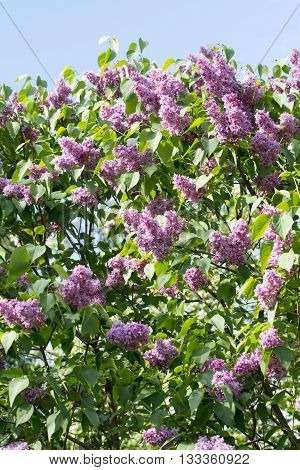 lilac bush of red in the summer garden
