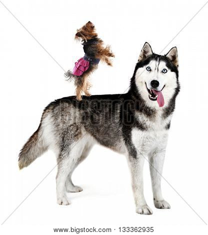 Yorkshire terrier standing on husky's back, isolated on white