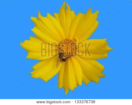 Lance-leaved coreopsis buds and yellow flower with bee isolated on blue.