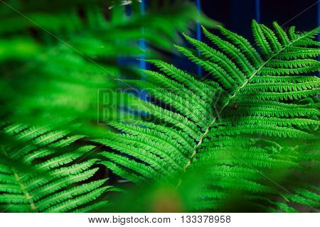 Fresh Young Green Fern Leaf Close Up
