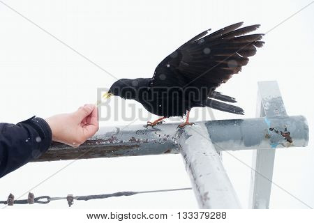 Black Bird Taking Food. Feeding From Hand. Hungry Crow