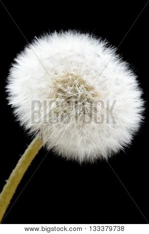 Dandelion Seeds Closeup