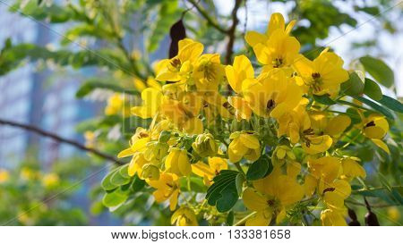 Senna siamea Cassod tree. Beautiful Yellow flowers