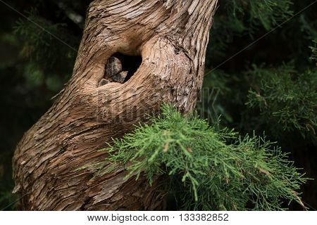 Closeup hollow in pine tree in the forest