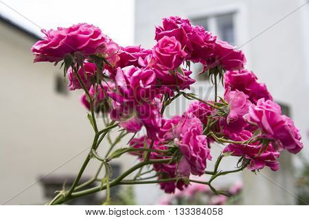 background landscape trellis branch beautiful pink roses in Salzburg