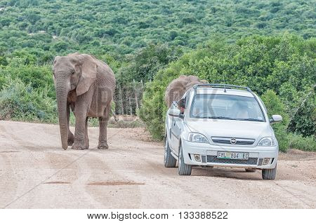 ADDO ELEPHANT NATIONAL PARK SOUTH AFRICA - FEBRUARY 25 2016: Unidentified tourists in a vehicle next to two elephants at Spekboom Hide in the Addo Elephant National Park