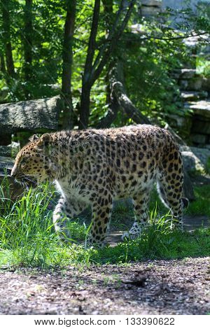 Adult leopard patrolling and guarding his territory