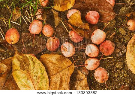 Grunge textured flat natural seasonal autumn background with small fallen red apples and leaves