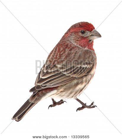 House Finch, Carpodacus Mexicanus, Isolated