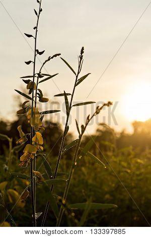 Sunn Hemp (crotalaria Juncea) In Evening With Sun Haze