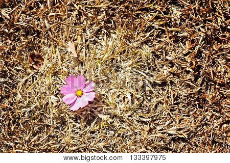Top view of cosmos flower has fallen on dry grass