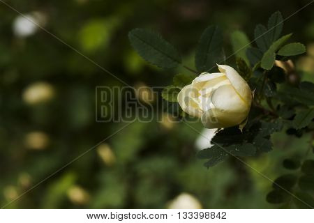 a white rosebud on the white rose of finland