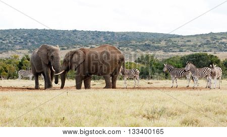 They Took Water - African Bush Elephant