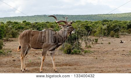 Good Grass - Greater Kudu - Tragelaphus Strepsiceros