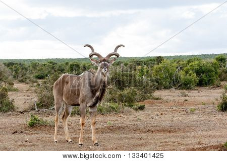 In The Wild - Greater Kudu - Tragelaphus Strepsiceros