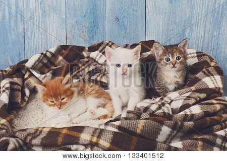 Adorable grey, white and ginger kitten sit at plaid blanket. Ginger kitten looks sleepy. Sweet cute kittens on a serenity blue wood background. Pet care. Funny kittens