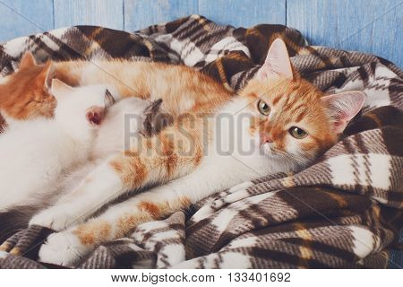 Ginger cat breastfeeding her little kittens. Motherhood, parenting, care. Orange cat nursing kittens at plaid blanket and blue rustic wood background. Kittens suck milk.