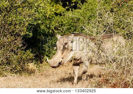 Shy Look - Phacochoerus Africanus  The Common Warthog
