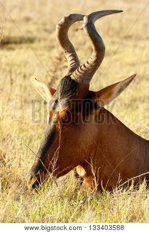 I Hear You - Red Harte-beest - Alcelaphus Buselaphus Caama