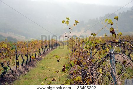 Grapevine after harvest. Rainy day on vineyard.