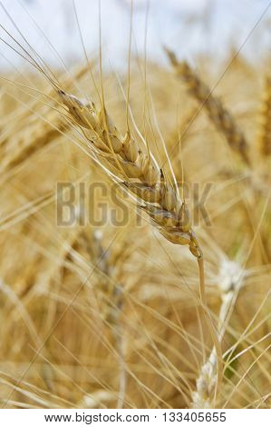 Wheat ear against beautiful sky with clouds. Close-up of wheat ear in field.