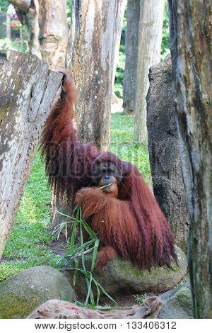 An Orangutan with long brown hair enjoying its meal