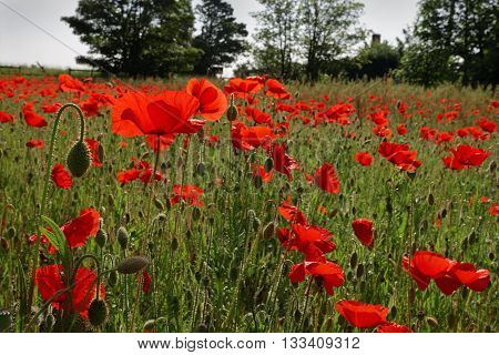 Field of wild red poppies in spring