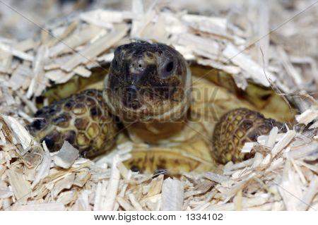 Russian Tortoise 08