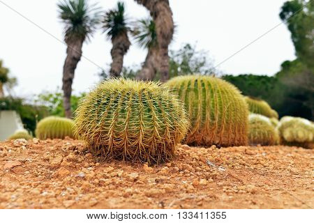Two Cactuses In Botanical Garden Of Mallorca. Spain.
